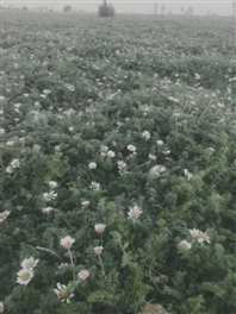 अकरकरा की की खेती में मुनाफा ही मुनाफा, जानिए खेती करने की विधि