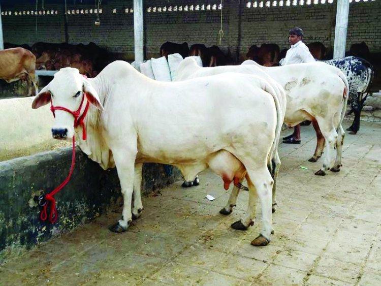 Bundelkhan में 'श्वेत क्रांति' लाएगा gokul ग्राम