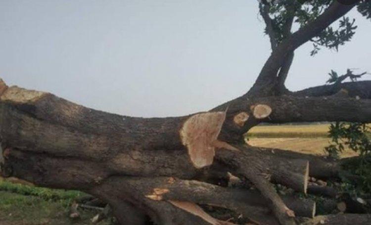 सागौन का 11 पेड़ काटने पर वन विभाग ने जड़ा 5 करोड़ से ज्यादा जुर्माना
