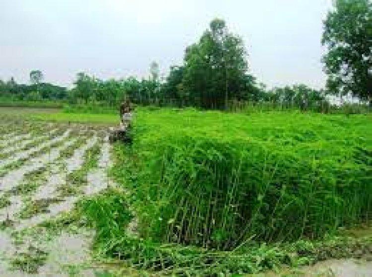 मृदा की उर्वरा शक्ति एवं जल धारण क्षमता में वृद्धि के लिए हरी खाद की खेती जरूरी
