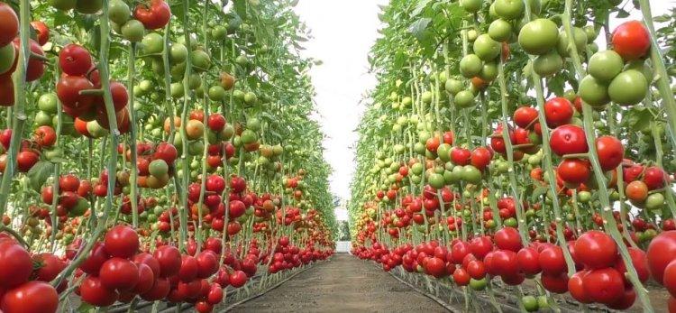 अच्छे उत्पादन के लिए करें ग्रीनहाउस टमाटर की खेती, पाएं अधिक लाभ