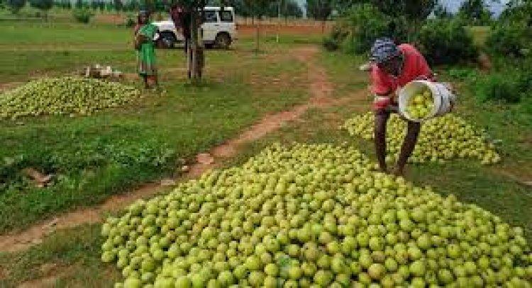 फल की खेती पर मप्र सकार दे रही 50 प्रतिशत तक सब्सिडी, करें आवेदन